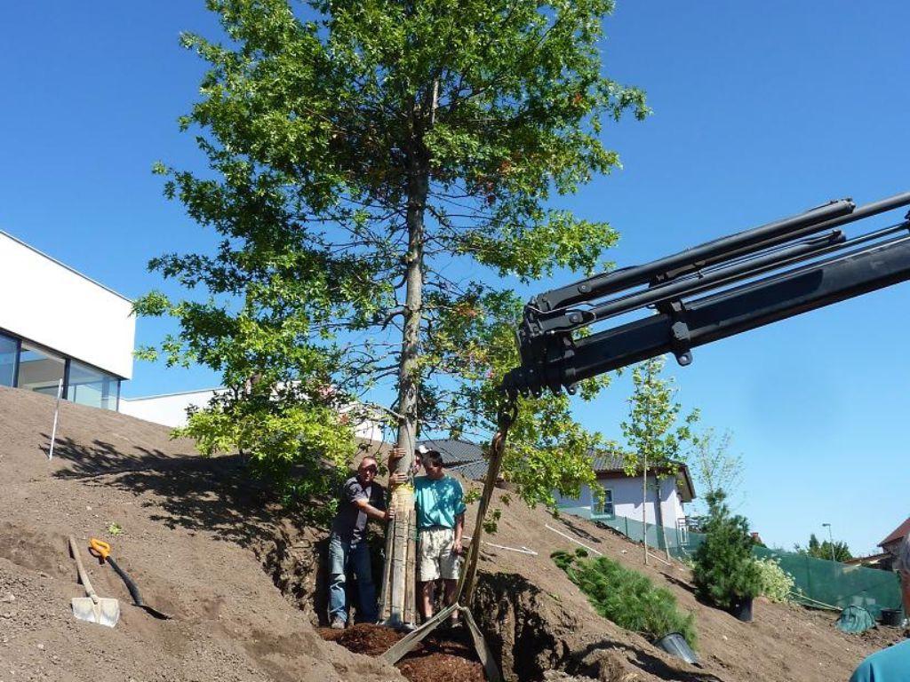 Dvanáct metrů vysoký a 1,5 tuny vážící strom k výsadbě