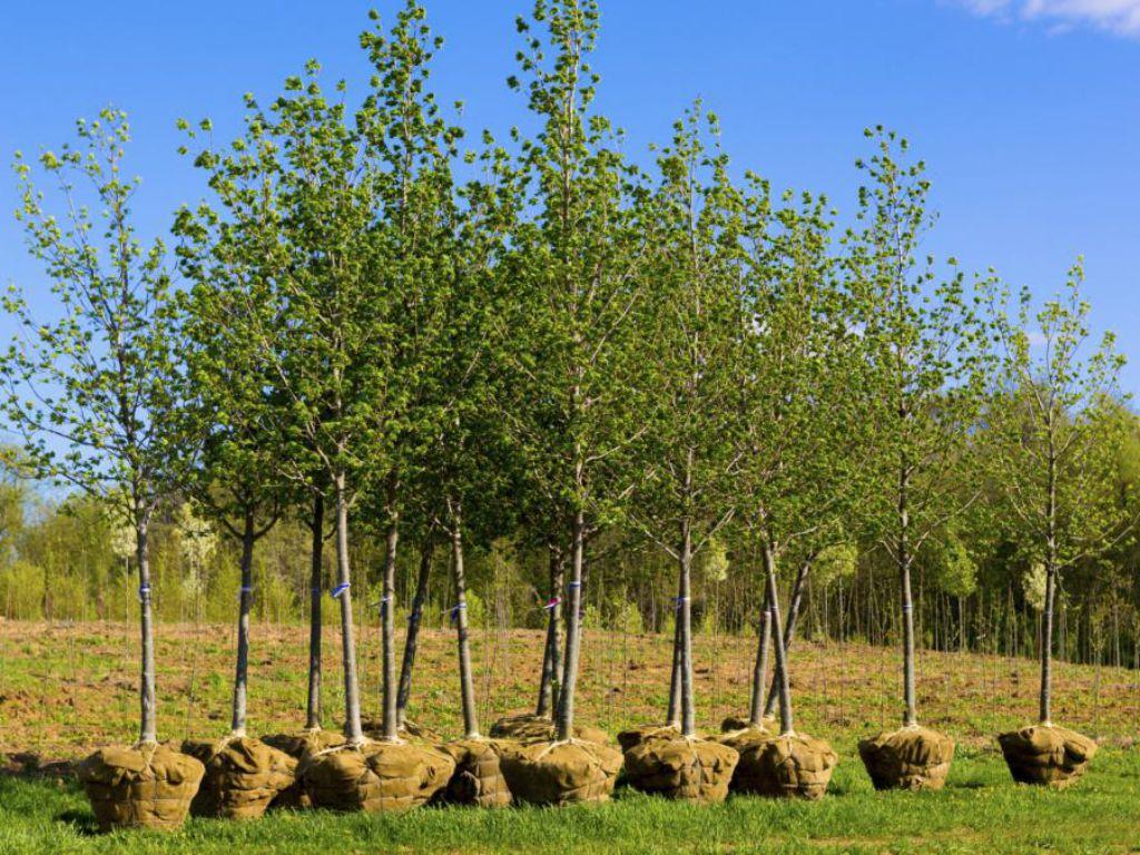 Stromy v balu před rozmístěním do krajiny